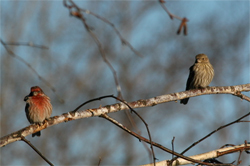 Finches pair